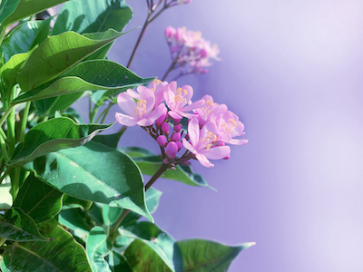 Pink Peregrina flowers stock image