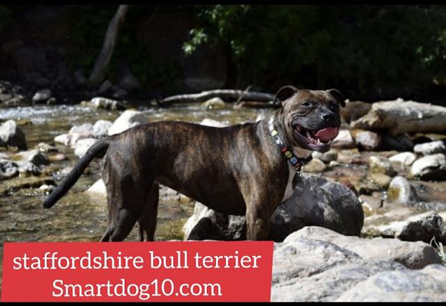 blue staffordshire bull terrier