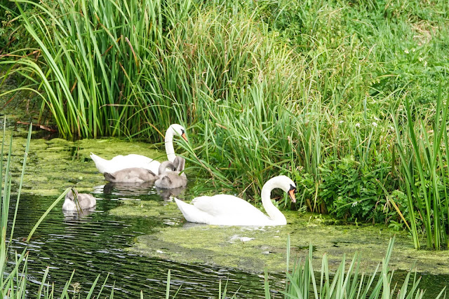 Mute Swan Cynus olor family