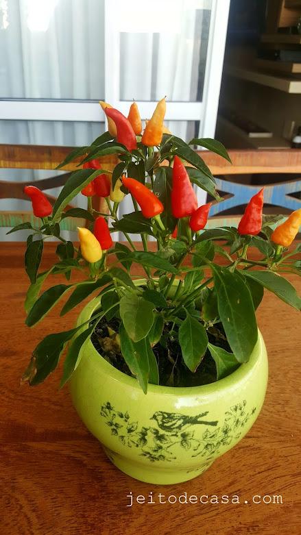 pimenta-ornamental