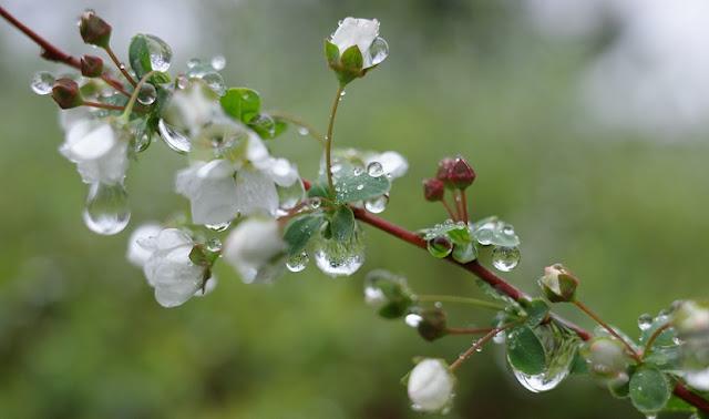 春雨が滴るユキヤナギ