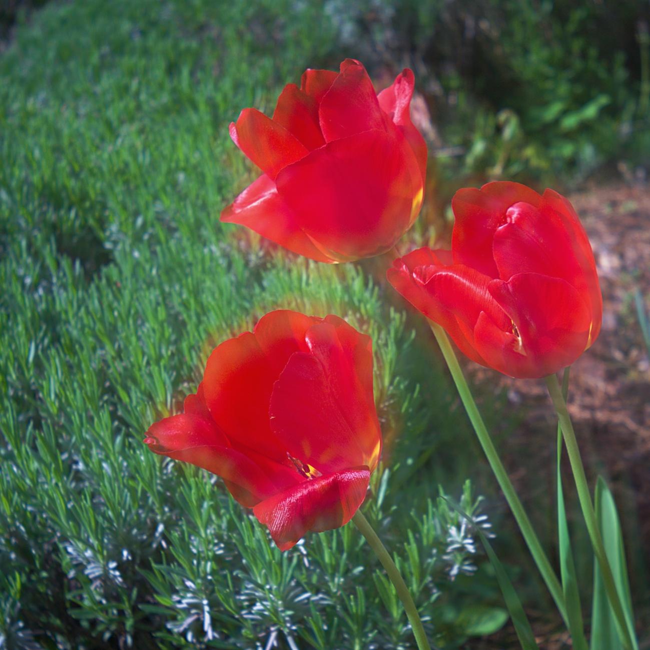 Bilder des Tages #73 — Verträumte Tulpen & Co.