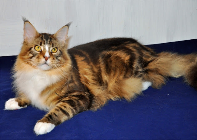 5 Fakta Unik Tentang Kucing Maine Coon