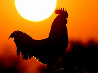 Rahasia Ayam, Mengapa Umat Islam Diperintahkan Memuliakannya ?