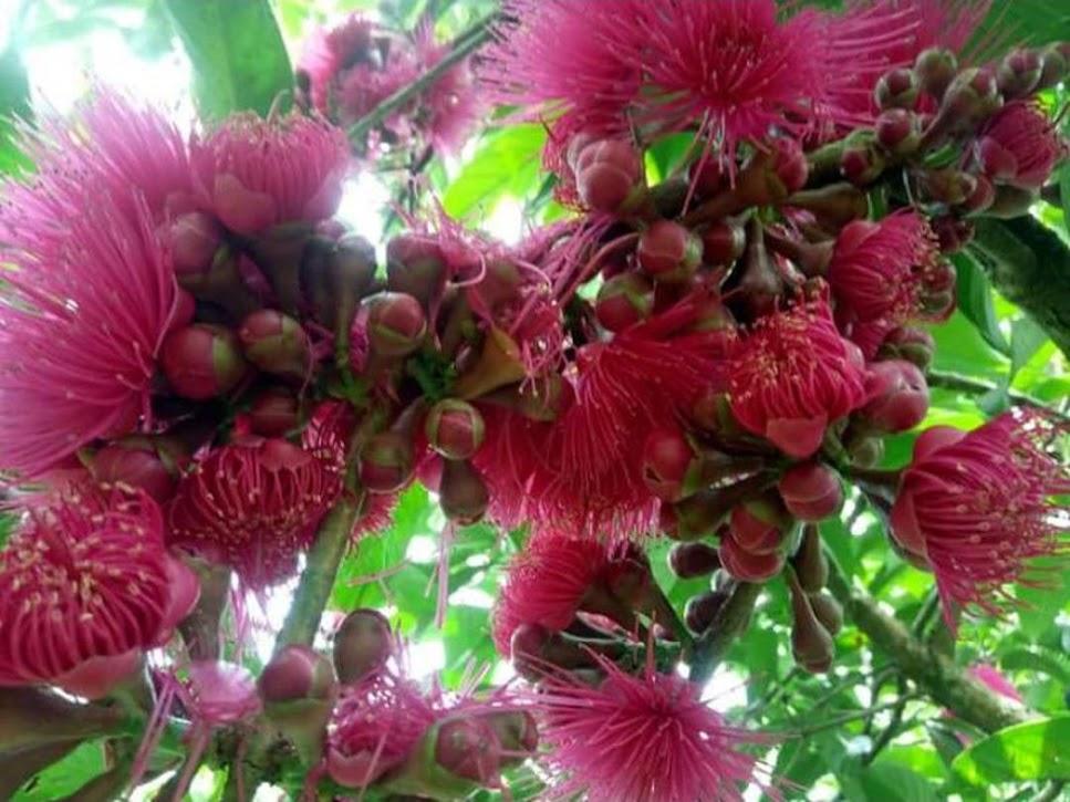 BIBIT JAMBU JAMAIKA DARSONO setiap pembelian 3pohon bonus anggur tanpa biji Kalimantan Tengah