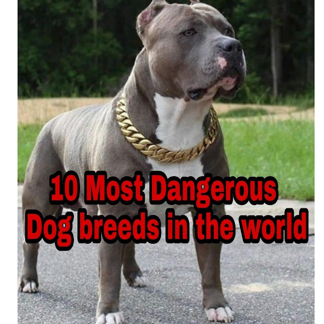 Top 10 Dangerous Dog Breeds In The World -1millionsfacts