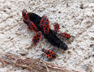 Easter Bugs eating a dead caterpillar
