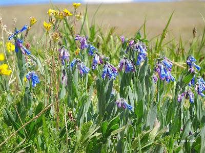 Mertensia in the alpine