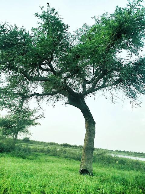 شجرة على شط النيل - السودان