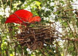 Durante a reprodução o bico do macho torna-se negro e brilhante; as pernas continuando sempre com a coloração vermelha-clara. A fêmea mantém inalteradamente o bico (que é mais fino) pardacento com a ponta enegrecida e as pernas vermelho-esbranquiçadas.