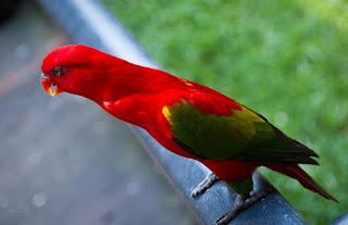 Burung nuri ternate