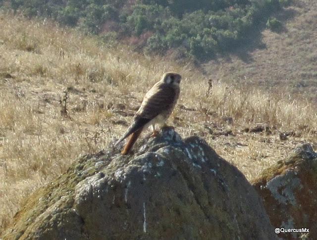 Ave guardián de un geocache - Mission Peak - Posiblemente un Kestral o Halcón chico