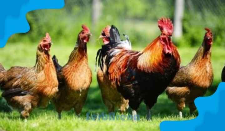 Arti Mimpi Menangkap Ayam Menurut Primbon Jawa