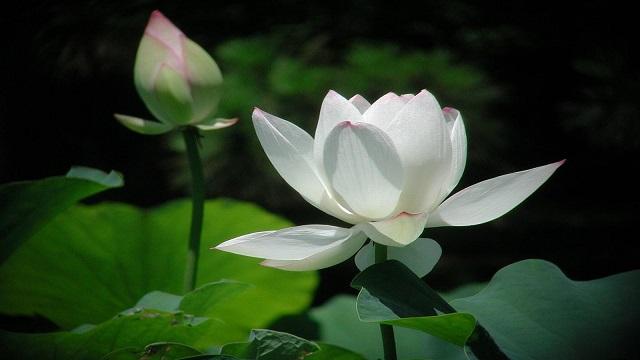 y nghia hoa sen trang