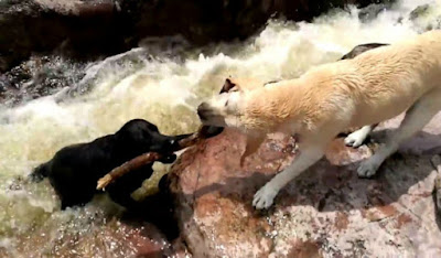 Συγκλονιστικό βίντεο: Σκύλος έσωσε τη ζωή ενός σκύλου από βέβαιο πνιγμό!