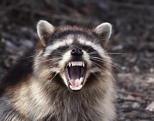 DHEC confirms two rabid raccoons in South Carolina, one in the Upstate