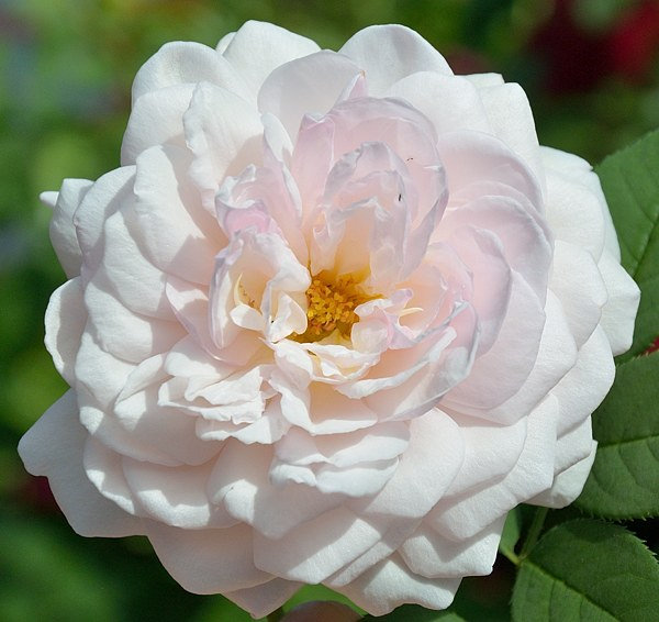 A Shropshire Lad сорт розы фото
