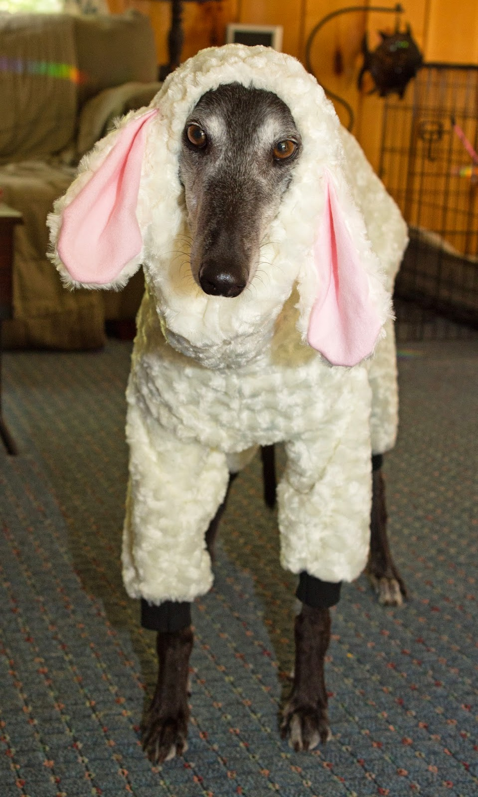 Yes I Know, My Dogs Look Funny: Greyhounds in Sheeps Clothing