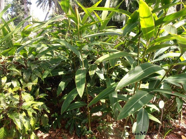 Plantas de ALPINIA Alpinia shimadae