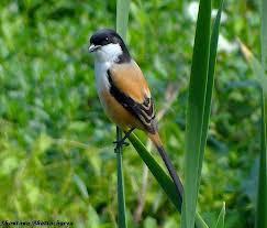 Burung Cendet Kuntilanak