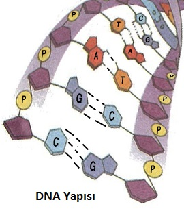 https://1.bp.blogspot.com/-YiyDkK_A61o/WiSW6rlwoiI/AAAAAAAAPr4/BfhveWQkQqQXI7OmrMBR948BGGosZhAzgCLcBGAs/s1600/DNA.jpg