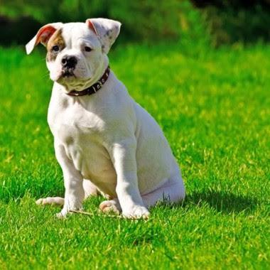 Bull dog breed characteristics