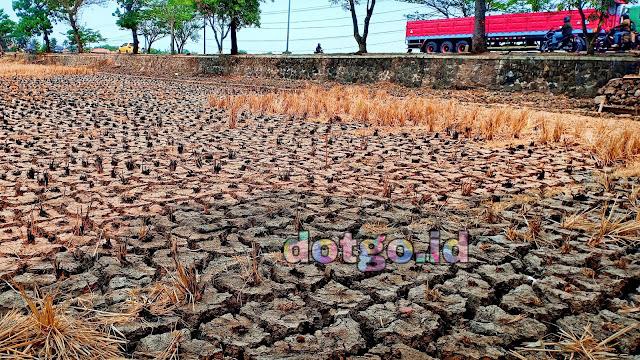 Kemarau Panjang petani di Ciasem, Sukasari, Pamanukan, Pusakanagara dan Pusakajaya mengalami kerugian