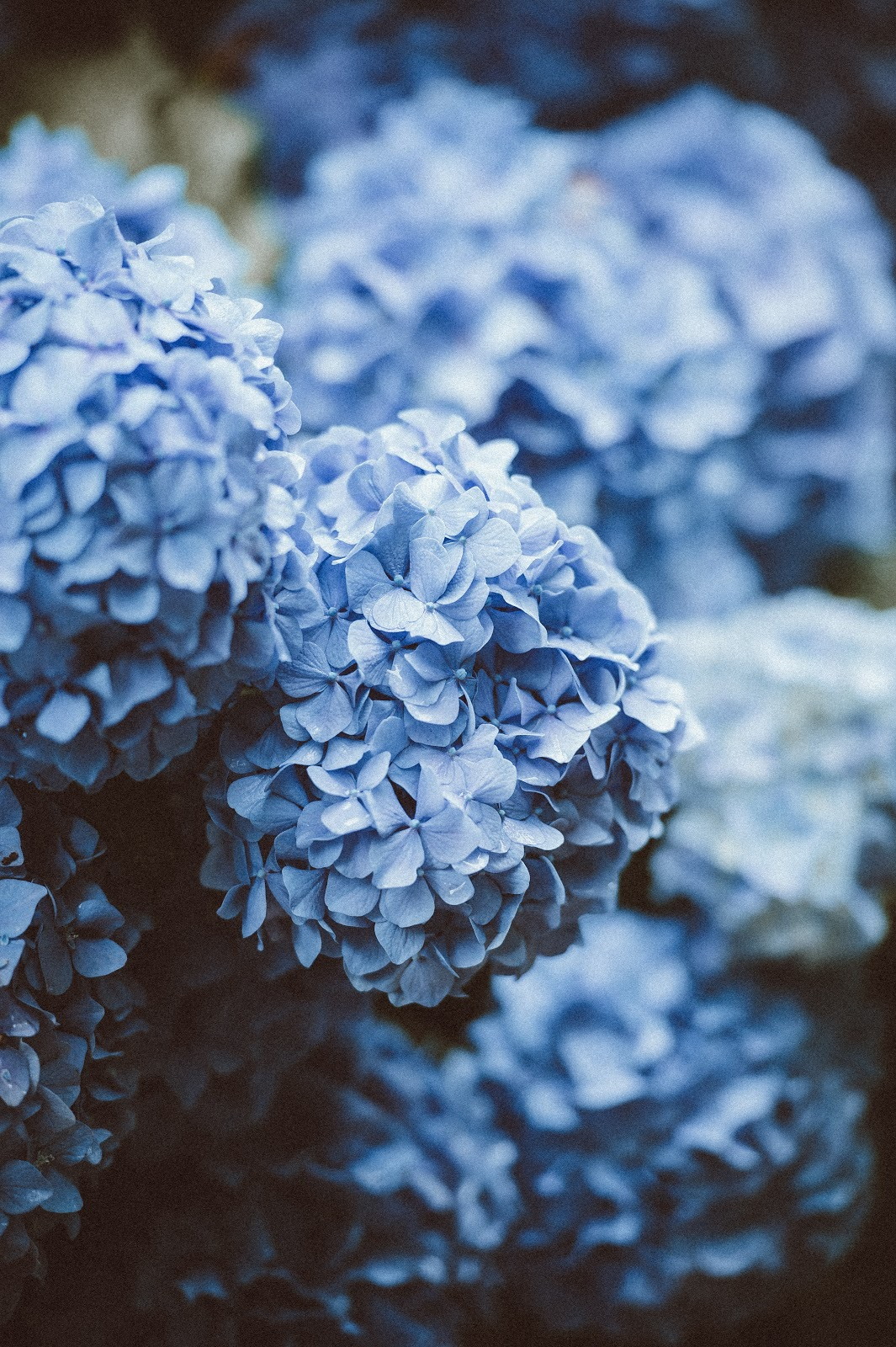 blue hydrangea, flower pictures