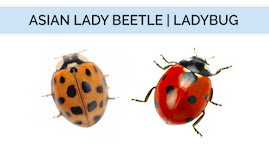 A side-by-side comparison of the Asian Lady Beetle on the left and the Ladybug on the right.