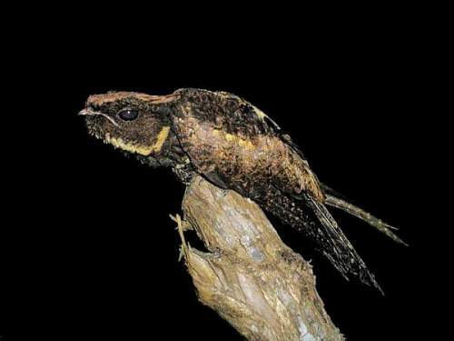 Birds of India - Great eared nightjar - Lyncornis macrotis
