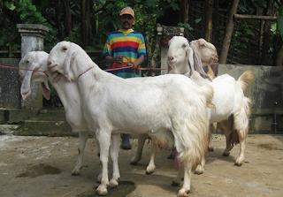 k mengenal atau cara mengetahui cirri kambing pe mandul Kabar Terbaru- CIRI CIRI KAMBING PE MANDUL