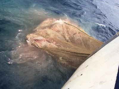 IMG 20200904 WA0007 - Como todos los años los arrastreros de Santa Pola cogiendo atunes en descomposición