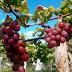 Colheita de uvas da primeira vinha de Juazeiro do Norte