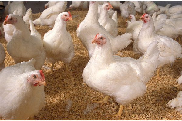 Poultry sector seeks go-ahead for exports to Afghanistan.