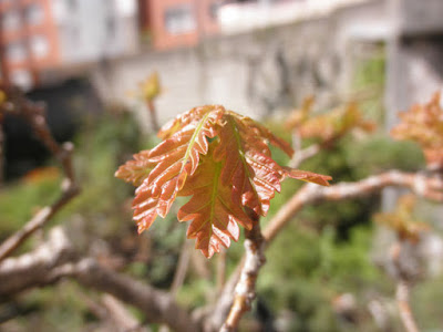Quercus brotando