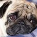 Πώς ο σκύλος κερδίζει την καρδιά σου: Τι έδειξε νέα έρευνα