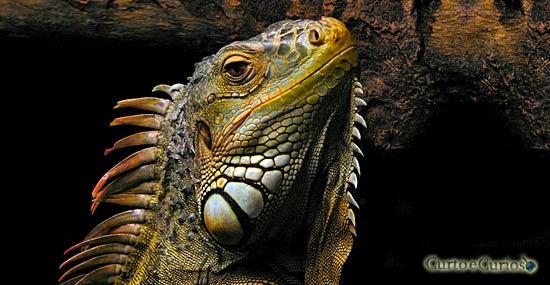 7 incríveis curiosidades sobre Iguanas