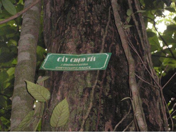 Cây chẹo-Engelhardtia chrysolepis-Nguyên liệu làm thuốc Có Chất Độc