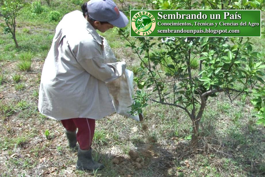 aplicación de abono orgánico en cultivo