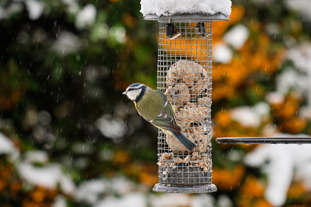 Blue Tit on the feeder eating, in winter.