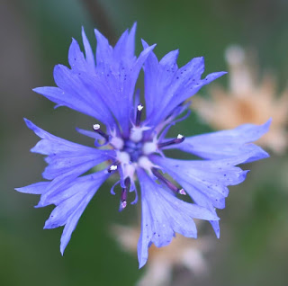 Close-up photo of a blue cornflower from above