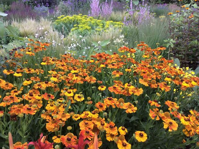 Oranje bloeiende Helenium 'Waltraut'
