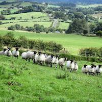 Ireland Images: Sheep lined up on the hike to Knocknashee in Sligo