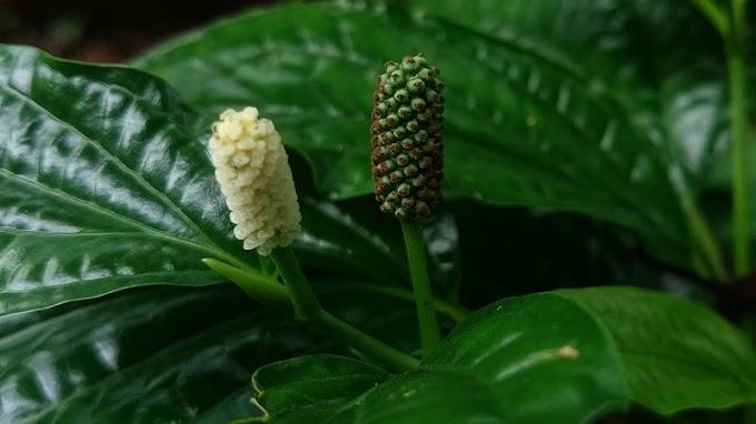 Pippali – Health benefits of (Rasayana, powder, churna)