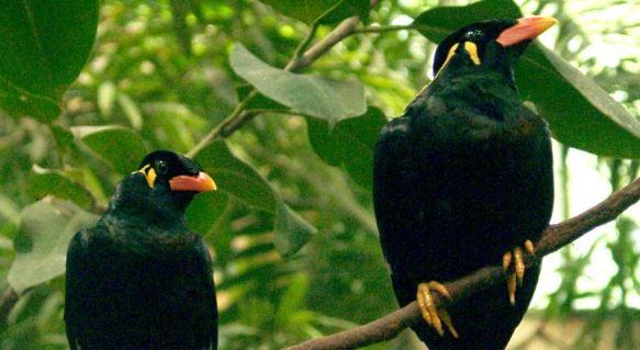 Cara Melatih Burung Beo Paling Efektif