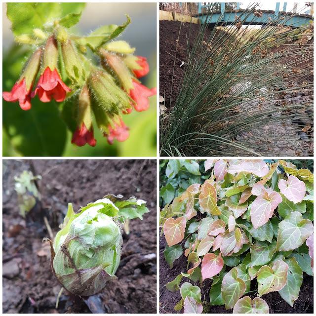 January plants in the stream garden, Pulmonaria rubra 'Ann', Juncus patens 'Carman's Gray', Epimedium pinnatum ssp. Colchicum and Petasites japonicus var. giganteus 'Nishiki-buki'