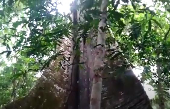 Εντυπωσιακό δένδρο Κεΐβη η πέντανδρος του οποίου οι ρίζες εξέχουν από το έδαφος