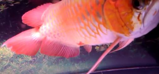 Arowana with fin rot caused from contact with glass in aquarium