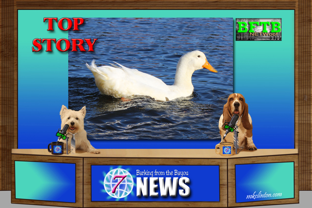 BFTB NETWoof News report on duck with 3D leg