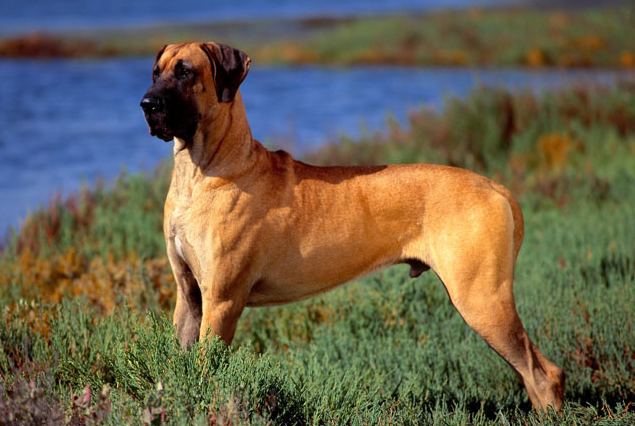 which is best dog breed for families, dog breeds for family, great dane pure breed